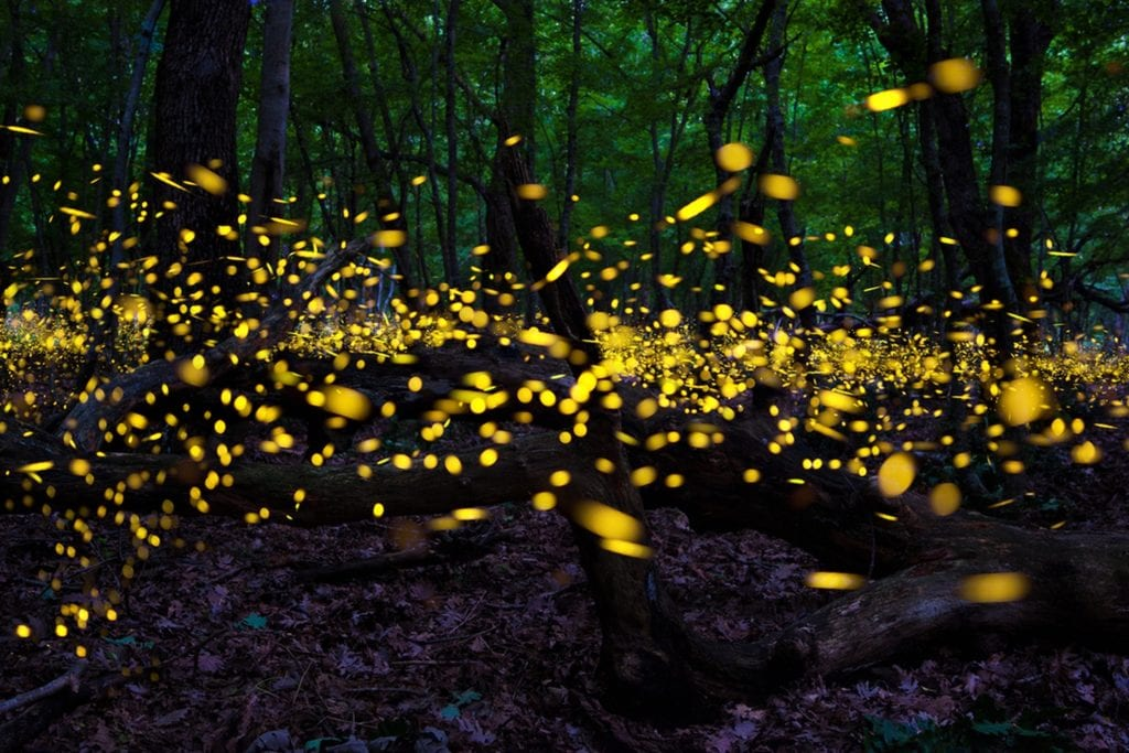 are fireflies beneficial to gardens