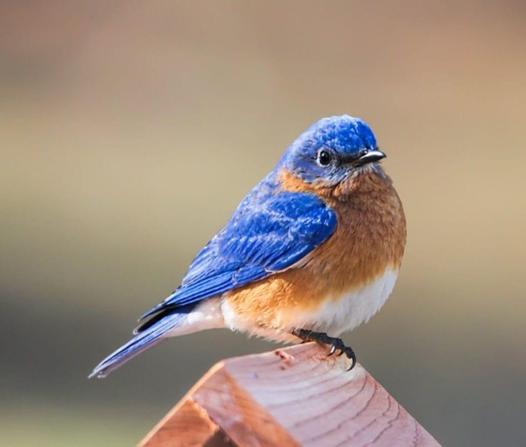 how to attract bluebirds into your garden
