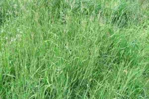 how to get rid of velvet grass in your lawn