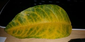 what causes yellow veins on green leaves