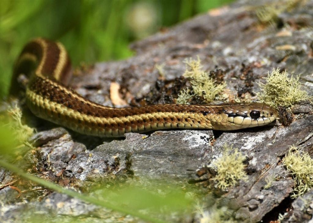 what is a garden snake and what does it look like