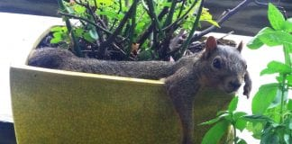 protecting potted plants from squirrels