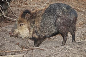 what are javelinas and how to cope with them